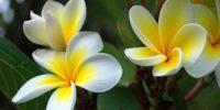 цветок рая